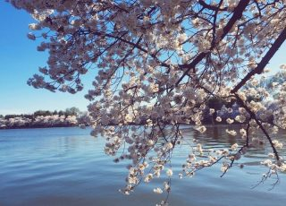 Sakura, or Cherry Blossom Festival - a Perfect Reason to Visit Washington DC