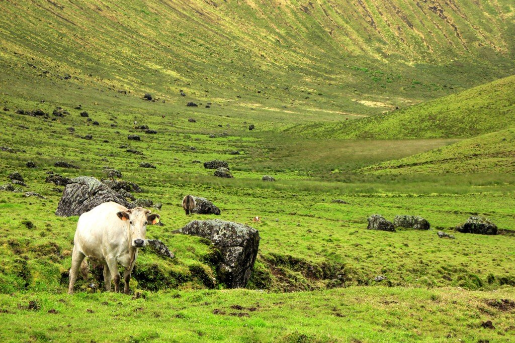One of the many cows that roam the Caldeirão of Corvo Island, Azores