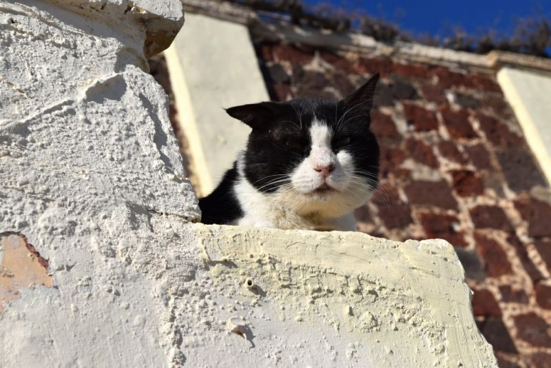 Cats of Santorini, Greece