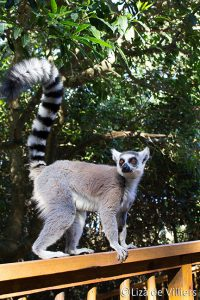 Lemur Monkey land