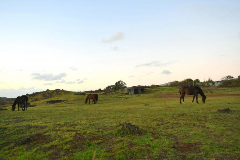 Horses on Easter Island, Chile