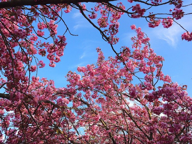 Beautiful pink cherry blossoms compliment the blue sky and perfect weather