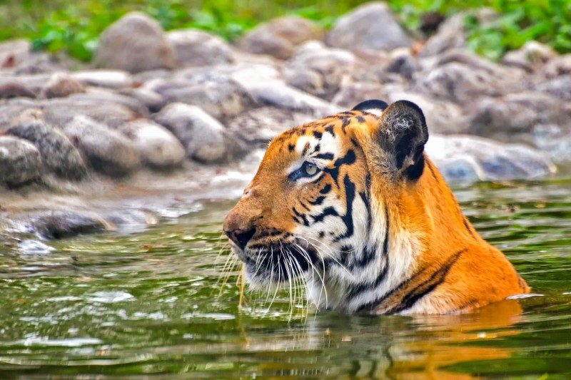 Royal Bengal Tiger, Sundarbans, Bangladesh - Global Storybook